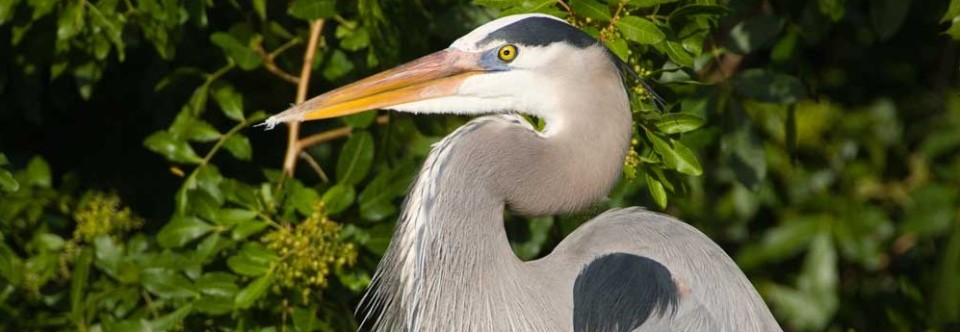 Great Blue Heron, largest species in North America