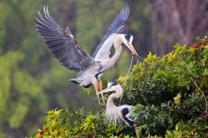 Great Blue Herons build a nest