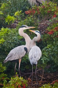 Great Blue Heron pair, mates