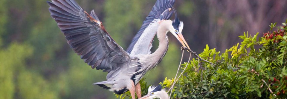 Great Blue Heron, building nest